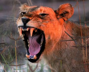 An Enraged Lioness