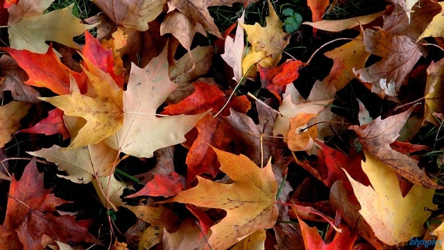 Autumn Leaves fallen on the forest floor.