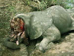 Poaching Elephants