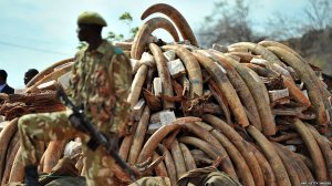Poaching for Ivory in Africa