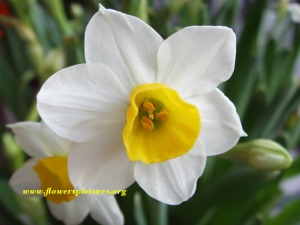 The narcissus flower