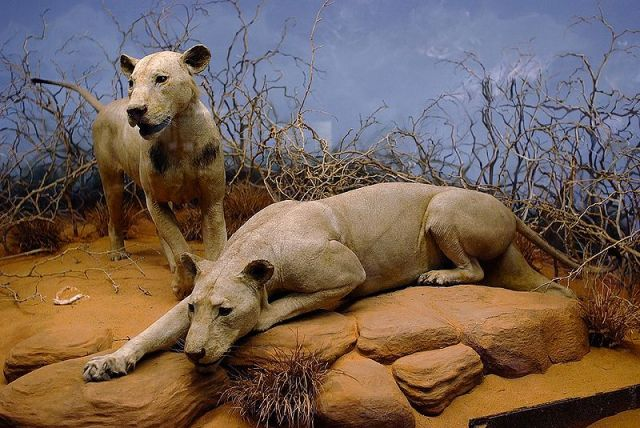 The Infamous Tsavo Man-Eaters - displayed prominently in The Field Museum of Natural History, Chicago, Illinois.