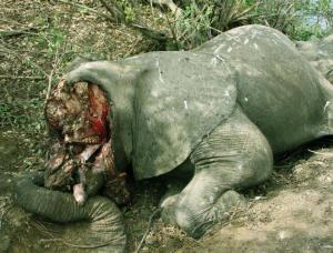 Illicit poaching of Elephants takes place on a grand and alarming scale.