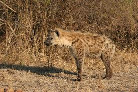 A Hyena - a cowardly carnivore but it can be very dangerous too.
