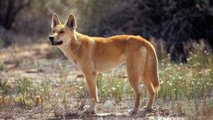 A wild Dingo dog