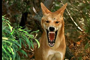 A fierce, wild dingo dog from the Australian Outback.
